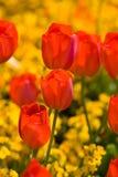Tulipes dans la lumière Photos stock