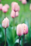 Tulipes dans le domaine Photo stock