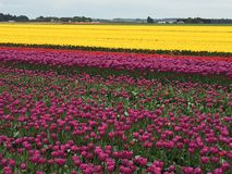Tulipes dans le domaine de ferme Photo stock