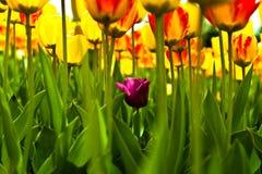 Tulipes dans le fielda Images libres de droits