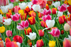 Tulipes dans le jardin Photo stock