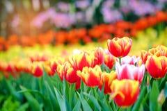 Tulipes dans le jardin Photos stock