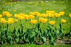 Tulipes dans le jardin Images stock
