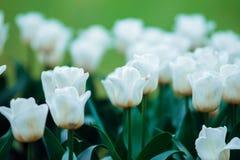 Tulipes dans le jardin d'été Images stock
