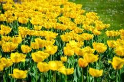 Tulipes dans le jardin de Tchèque Images libres de droits