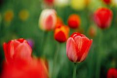Tulipes dans le parterre photos stock