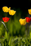 Tulipes dans le pré Photo libre de droits