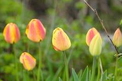 tulipes dans le sauvage Images libres de droits