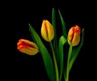 Tulipes dans les baisses de la rosée sur un fond noir Photo libre de droits