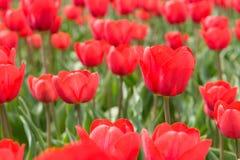 Tulipes dans les domaines Images stock