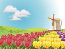Tulipes dans les lignes avec le moulin à vent Photographie stock libre de droits