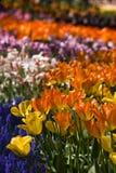 Tulipes dans toutes les couleurs Photos libres de droits