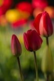 Tulipes dans un jardin pendant le ressort Photographie stock libre de droits