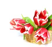 Tulipes dans un panier wattled d'isolement sur le blanc Photographie stock