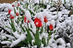 Tulipes dans une neige Photographie stock libre de droits