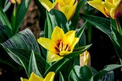 Tulipes de Ballade de Hollande photos libres de droits