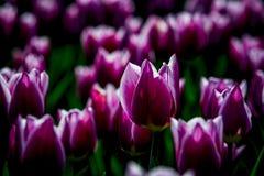 Tulipes de Ballade de Hollande images libres de droits