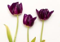 Tulipes de Bourgogne Photo libre de droits