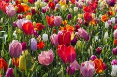 Tulipes de Colorfull Photos libres de droits