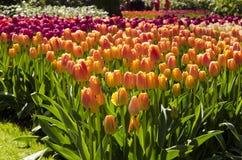 Tulipes de Colorfull Photos stock