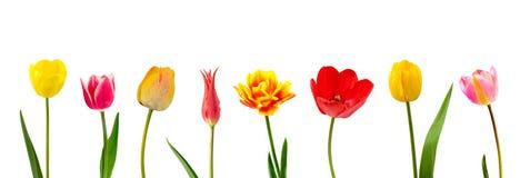 tulipes de composition Photos stock