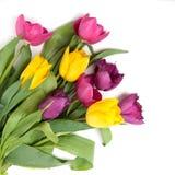 Tulipes de couleur d'isolement sur le blanc Photos libres de droits