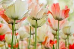 Tulipes de couleur de plan rapproché Photographie stock libre de droits
