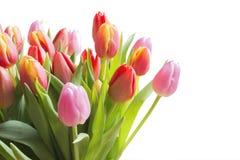Tulipes de couleur de ressort Images stock