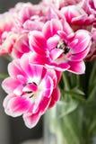 Tulipes de couleur rose et blanche ouverte Grands bourgeons des tulipes multicolores Contexte naturel floral Tulipes bicolores re Photos stock