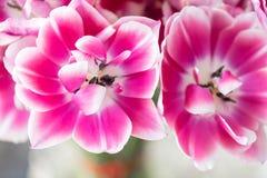 Tulipes de couleur rose et blanche ouverte Grands bourgeons des tulipes multicolores Contexte naturel floral Tulipes bicolores re Images stock