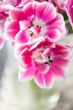 Tulipes de couleur rose et blanche ouverte Grands bourgeons des tulipes multicolores Contexte naturel floral Tulipes bicolores re Images libres de droits