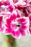 Tulipes de couleur rose et blanche ouverte Grands bourgeons des tulipes multicolores Contexte naturel floral Tulipes bicolores re Photo libre de droits