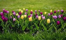 Tulipes de Diversicolored Images stock