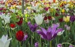 Tulipes de floraison photo stock
