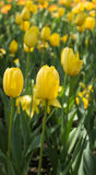 Tulipes de floraison photo stock