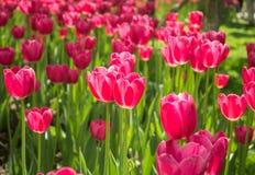 Tulipes de floraison image libre de droits