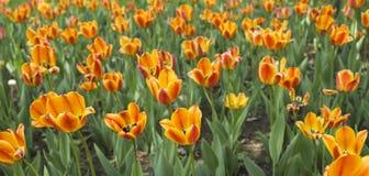 Tulipes de floraison photographie stock libre de droits