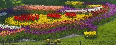 Tulipes de floraison Photos stock