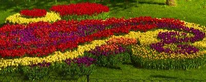 Tulipes de floraison Images libres de droits