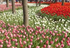 Tulipes de floraison image stock