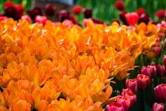 Tulipes de floraison Photos libres de droits