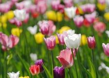 Tulipes de floraison colorées Photographie stock