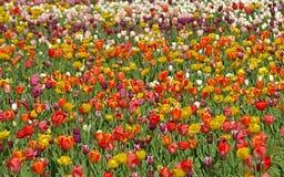 Tulipes de floraison dans un domaine de tulipe images stock