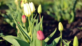 Tulipes de floraison de Timelapse banque de vidéos