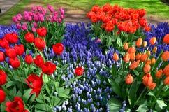 Tulipes de floraison en parc de Keukenhof aux Pays-Bas Images stock