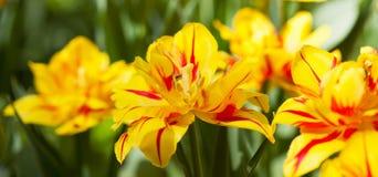 tulipes de floraison Jaune-rouges Image stock