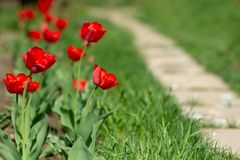 Tulipes de floraison rouges sur le fond de la pelouse verte photos libres de droits