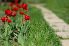 Tulipes de floraison rouges sur le fond de la pelouse verte image libre de droits