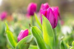 Tulipes de floraison stupéfiantes 6 Images stock