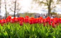 Tulipes de floraison stupéfiantes 11 Images stock